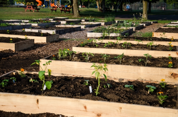 Pictured above are before (top) and after images of the plots in the Moreau Community Garden Family Gardening program. Below is a close-up of the green peppers plot that shows the square foot gardening technique that is being used.