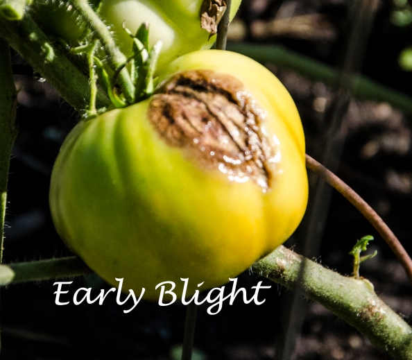 EarlyBlight2