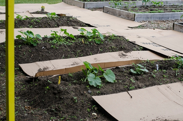 Placing cardboard between rows and covering it with wood chips cuts down on the need to weed.
