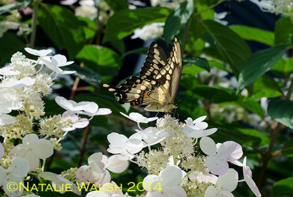 swallowtail copy
