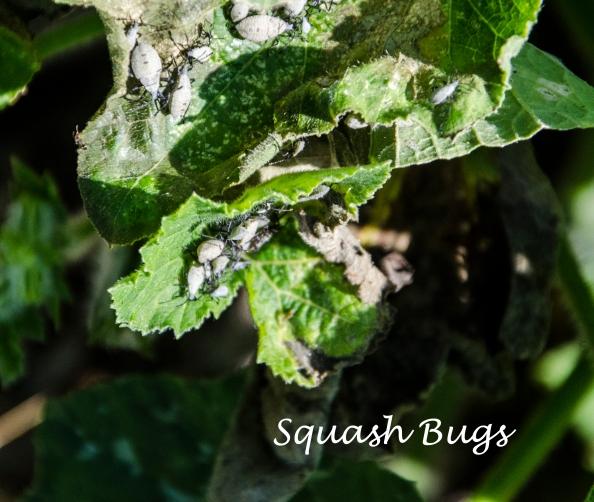 Squashbugs
