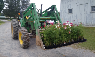 Cosmos look good in the bucket of Bill's tractor.