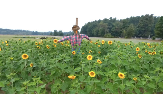 secondsunflowers