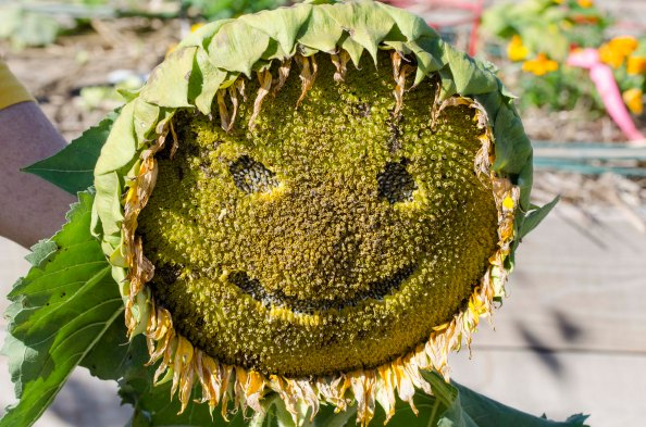 Sunflowerface