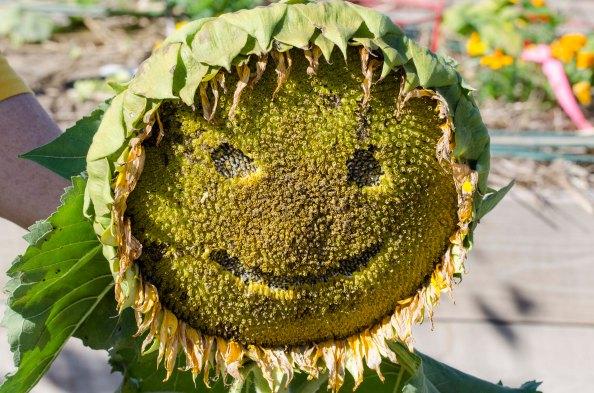Sunflowerface